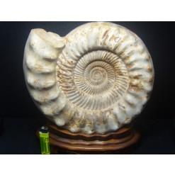아프리카 화이트 암모나이트 화석