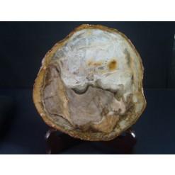 아프리카 규화목(나무화석) 수정 판