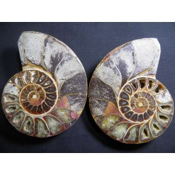 아프리카암모나이트화석